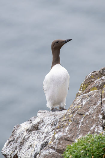 Guillemot Scotland Animal Beak Bird Birdlife Black Cliff Coast Colony Crag Estuary Fife  Firth Flying Forth Geology Island Isle Landscape May Nature Nest Outcrop Outdoors Reserve River Rock Rugged Sea Sheer Shore Steep Volcanic  Water Wave White Wildlife Seabird Summer Travel Vacation View Uría Aalge