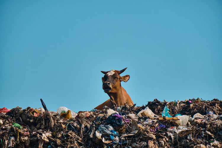 View of cow against clear blue sky