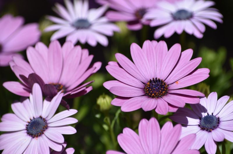 Petals on the ground Pink Color Selective Focus Flower Flowering Plant Petal Freshness Plant Flower Head Fragility Inflorescence Osteospermum Focus On Foreground Pink Color Purple Close-up Growth Pollen