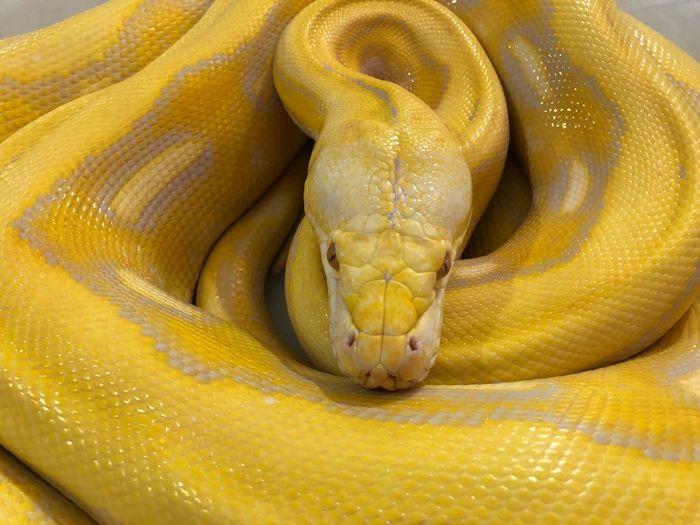 High angle view of yellow snake
