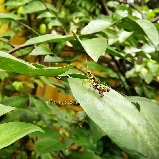 Belalang tempur.. Hengpongphotograph Oneplusonecamera Belalang Belalangtempur Grasshopper Animal Macro Photomacro Macroindonesia