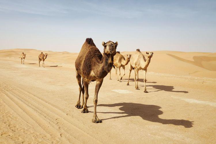 Giraffe in a desert
