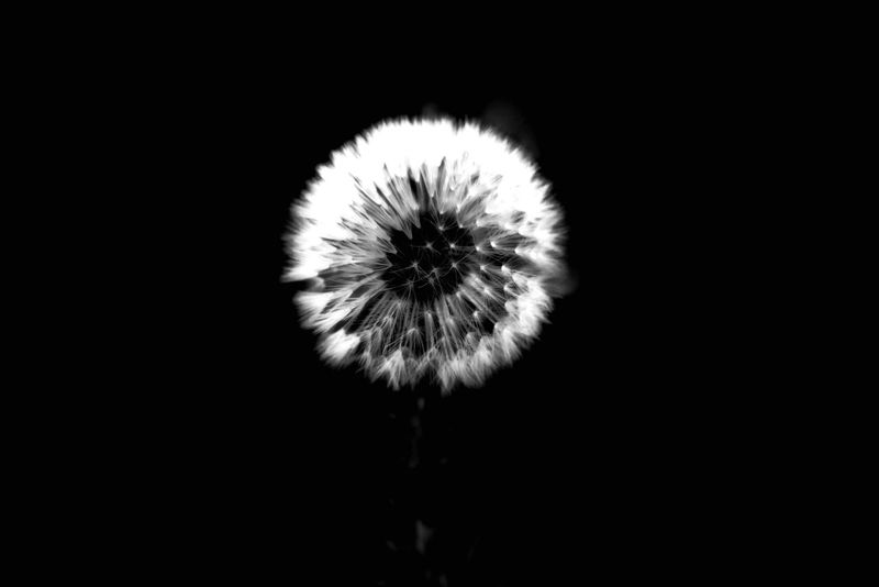 Creative Light And Shadow - Dandelion - Light & Dark - - Fine Art Photography - The Art Of Photography - Eyeem Monochrome - Natural Beauty
