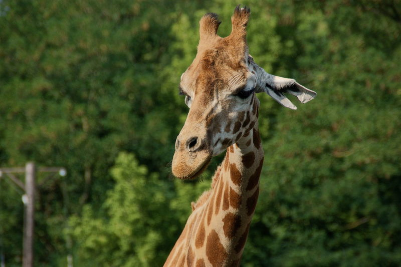 Close-up view of a giraffe