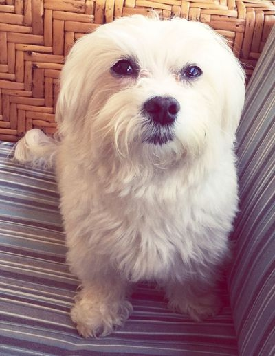Theo the Maltese Domestic Animals Maltese Dogs Style First Eyeem Photo