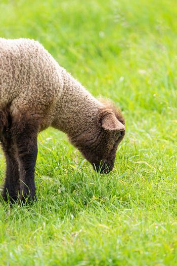 Grass Animal Animal Themes Mammal Plant One Animal No People Nature Animal Wildlife Animals In The Wild Agriculture Day Side View Green Color Field Outdoors Livestock Grazing Domestic Animals Eating Profile View Animal Head