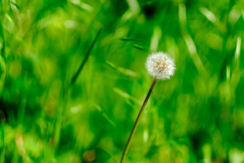 Fujifilm 56mm F1.2 X-T20 Beauty In Nature EyeEm Nature Lover EyeEm Selects EyeEm Best Shots EyeEm Gallery Plant Flower Fragility Beauty In Nature Dandelion Flowering Plant Vulnerability  Focus On Foreground Close-up Dandelion Seed Green Color Wildflower Flower Head Freshness