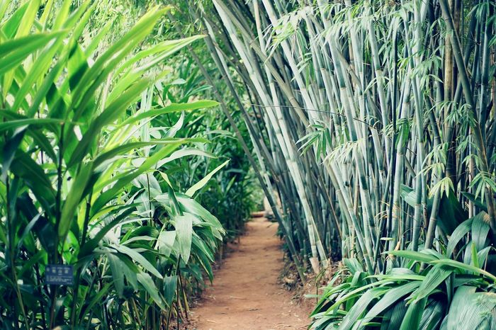 Green Forest Greenfields Outdoors Growth Nature Plant Crop  Cereal Plant The Way Forward Agriculture Green Color No People Scenics Tranquility Bamboo - Plant Day Beauty In Nature Unkonwn EyeEm Best Edits EyeEm Best Shots - Nature