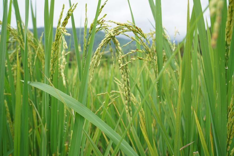 Plant Landscape Land Growth Green Color Field Rural Scene Beauty In Nature Nature Day Tranquility No People Outdoors Paddy Field Rice Field
