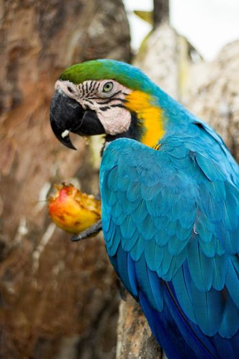 I'm hungry Guacamayo Peruano Guacamayo Azulamarillo Guacamayo Peru Lima EyeEmNewHere Hungry Hungry Animals Apple Eat An Apple Bird Animal Themes Animal Animal Wildlife Vertebrate Parrot Animals In The Wild Macaw One Animal Blue Close-up Nature Beauty In Nature Animal Body Part Gold And Blue Macaw
