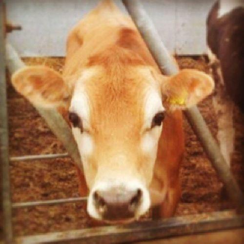 Mr Pretty Mrpretty Bull Cow