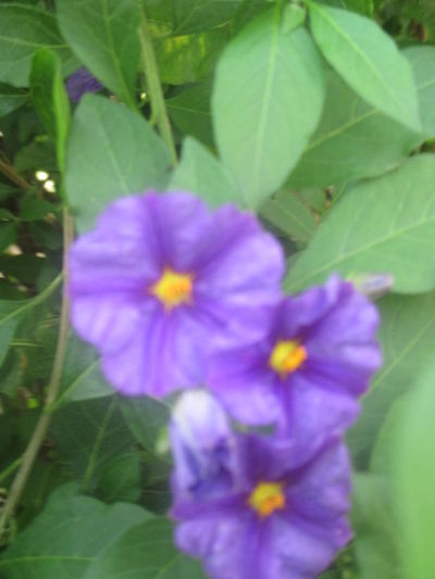 #purple Beauty #romantic #simplicity #spring #springtime #togetherness Beauty In Nature Blooming Close-up Day Flower Flower Head Fragance Fragility Freshness Growth Leaf Nature No People Outdoors Petal Plant Purple Tenderness Yellow