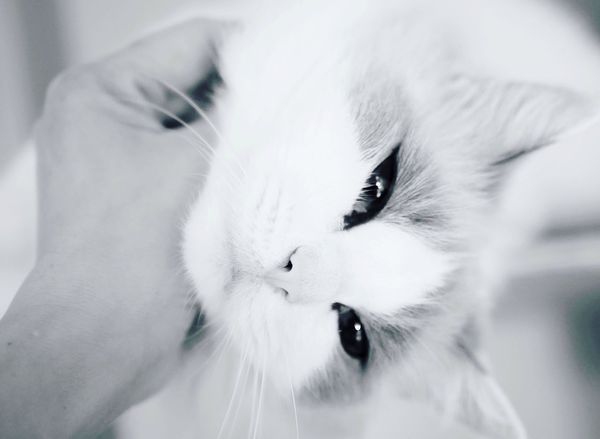 I forget I'm a cat for now Resting Daydreaming Softness Tender Resting Quiet Moments Cats Eyes Fragility Sleepingcats Noir Et Blanc Ragdoll Cat Bnw Monochrome Pet Portraits Pets One Animal Cat Whisker White Color Portrait No People