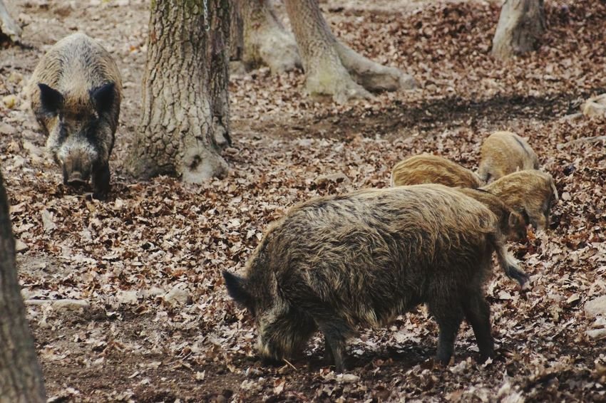 Wild Boar Family Animal Themes Animals In The Wild Mammal No People Pig Outdoors Nature Day Oak Forest Wildlife & Nature Animal Body Part Wild Board Hair Hungary I <3 You Wild Board Forest Photography Budakeszi Wild Park Full Frame Oak Leaves Cover Backgrounds Beauty In Nature Animals In The Wild Animal Wildlife Young Wild Boar Little Wild Boar