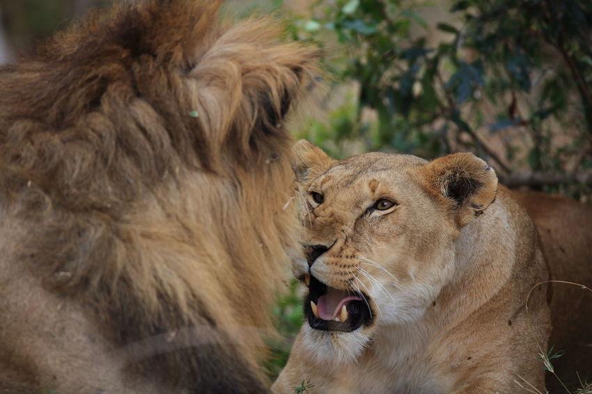 Lions teasing in Maasai Mara, Kenya Africa Alertness Animal Head  Animal Themes Lion Family Lioness Lions Lions Playing Lions Teasing Loyalty Maasai Mara National Parks Kenya Playing Around Wilderness Wildlife Wildlife Photography