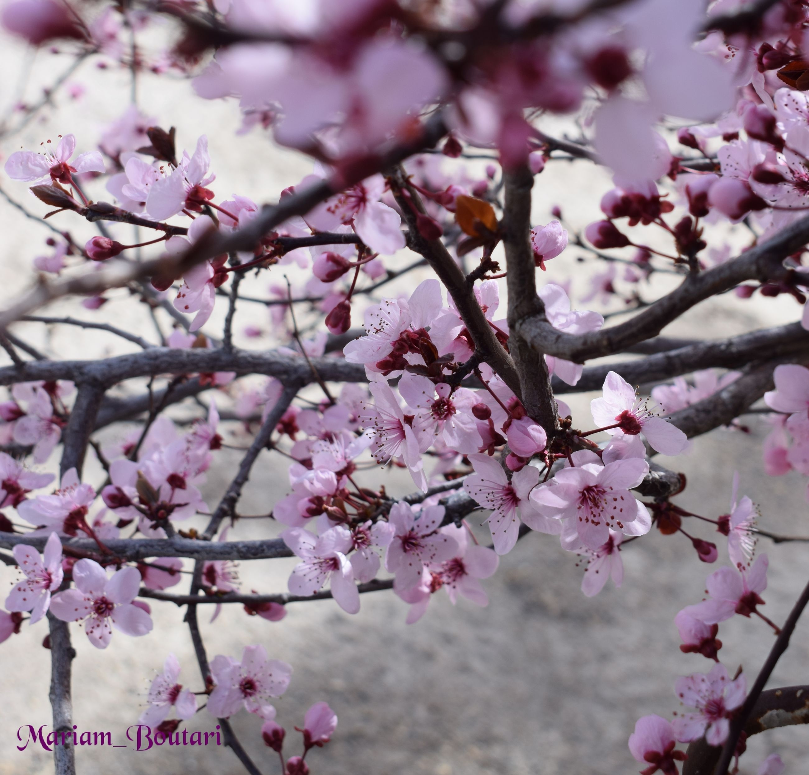 flowering plant, flower, plant, pink color, growth, tree, freshness, blossom, fragility, branch, beauty in nature, vulnerability, springtime, nature, close-up, cherry blossom, no people, day, petal, cherry tree, outdoors, flower head, spring, plum blossom, bunch of flowers