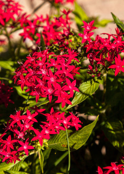 Graffiti Red Lace Star Flower Pentas lanceolata blooms in clusters in a botanical garden in Naples, Florida Graffiti Red Lace Pentas Lanceolata Beauty In Nature Bunch Of Flowers Close-up Flower Flower Head Flowering Plant Focus On Foreground Fragility Freshness Growth Leaf Nature No People Outdoors Petal Plant Plant Part Red Red Flower Selective Focus Star Flower Vulnerability