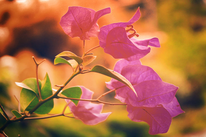 A lovely bougainvillea. Beautiful Bougainvillea Flowers,Plants & Garden Beautiful Flowers Beauty In Nature Blooming Bougainvillea Bougainvillea Flower Bougainvilleas Close-up Day Flower Flower Head Fragility Freshness Growth Leaf Leaves Lovely Flowers Nature No People Outdoors Petal Petals Petals Of Flowers Pink Flower