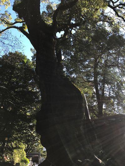 樹齢2000年の大楠