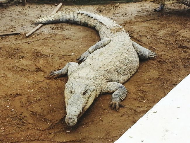 Sand Animals In The Wild Reptile Animal Wildlife Day Lizard One Animal High Angle View Outdoors Animal Themes No People Nature Iguana Beach Close-up