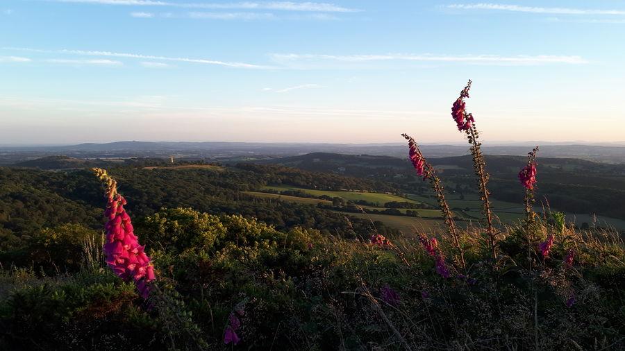 """On the Hills"" Foxglove Malvern Hills British Camp English Countryside Rural Scene Green Green Green!  Flower Sunset Pink Color Rural Scene Hill Field Sky Landscape Plant Wildflower"