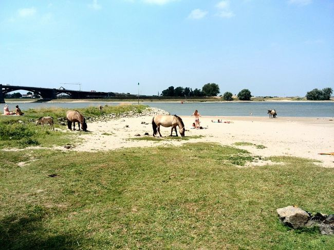 Horses Beautiful Nature River Side Relaxing In The Sun Nijmegen The Netherlands