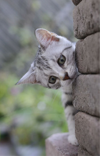 Animal Head  Bricks Cat Cats Curiosity Curious Feline Kitten Kittens One Animal Outside Peek-a-boo Peekaboo Whisker