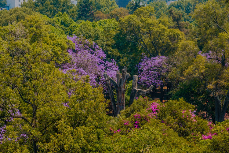 Jacarandas entre el bosque Plant Tree Beauty In Nature Flower Flowering Plant Growth Nature Autumn Scenics - Nature No People Day Outdoors Tranquility Pink Color Foliage Land Lush Foliage Freshness Multi Colored Bush Change Purple