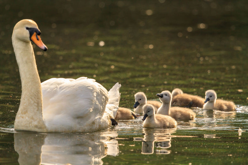 Mute Swan with its cygnets out on the lake early in the morning Bird Bird Photography Birds Of EyeEm  Birdwatching Cygnets Cygnus Olor Mother Mute Swan Nature New Life Swan White Beauty Wildlife Photography