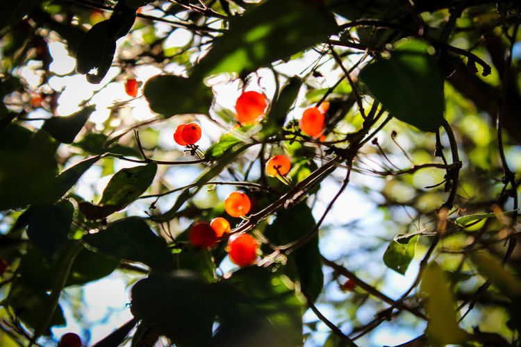 Beauty In Nature Branch Close-up Day Food Food And Drink Freshness Fruit Growth Leaf Low Angle View Nature No People Outdoors Red Rowanberry Tree