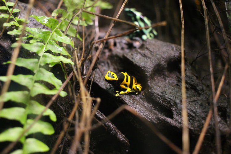 Poison Arrow Frog On Rock