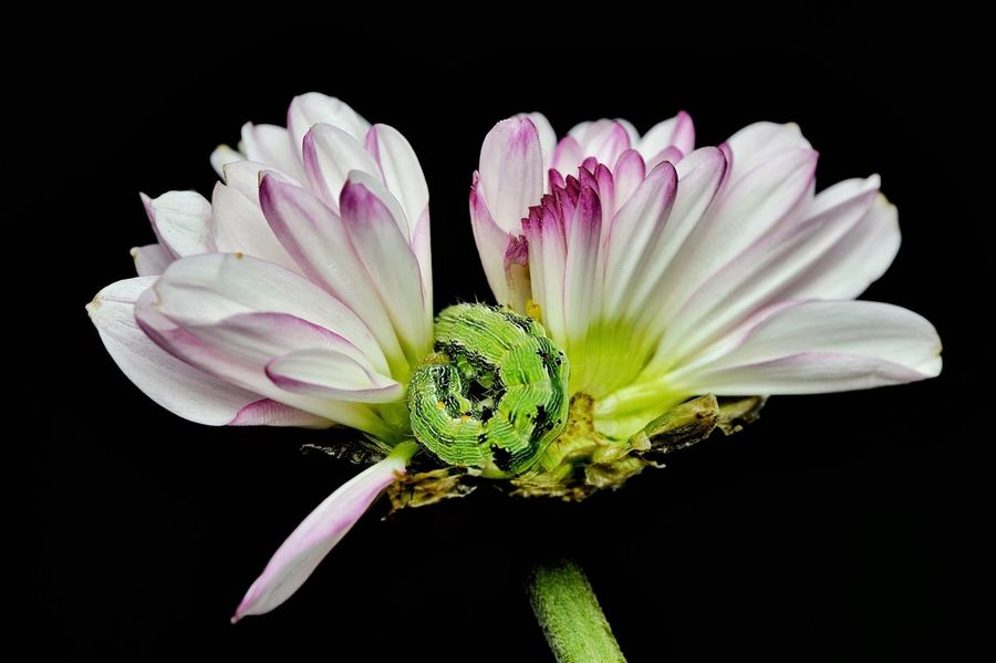 Green caterpillar in the middle of chrysanthemum flower Flower Black Background Flora And Fauna Macro Green Caterpillar Petal Fragility Flower Head No People Close-up Plant Beauty In Nature Freshness Nature Growth Outdoors Purple Flower Chrysanthemum Animal Themes One Animal Blooming