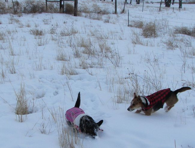 Cold Cold Day Cold Days Cold Temperature Cold Weather Cold Winter ❄⛄ Coldweather Corgi Dog Dogs Dogslife Dog❤ Outdoors Snow Snow Covered Snow Day Snow ❄ Snowy Weather Welsh Welsh Corgi