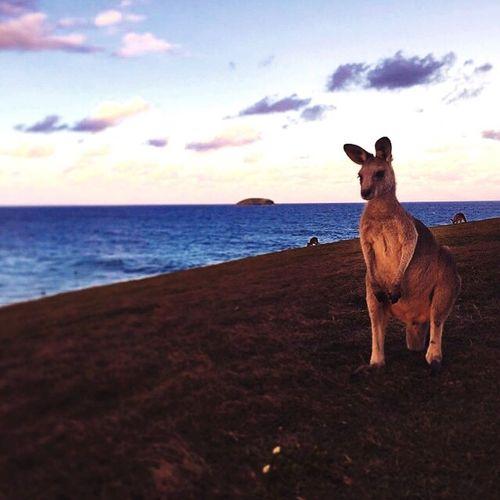 Hanging Out Enjoying Life Australia Kangaroo Headland Sydney Beautiful