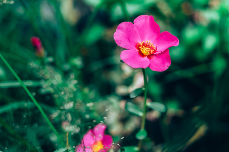 Plant Flower Fragility Flowering Plant Beauty In Nature Vulnerability  Freshness Petal Pink Color Growth Close-up Flower Head Inflorescence Focus On Foreground Nature No People Day Selective Focus Outdoors Green Color Pollen Grass Backgrounds Object Prairie