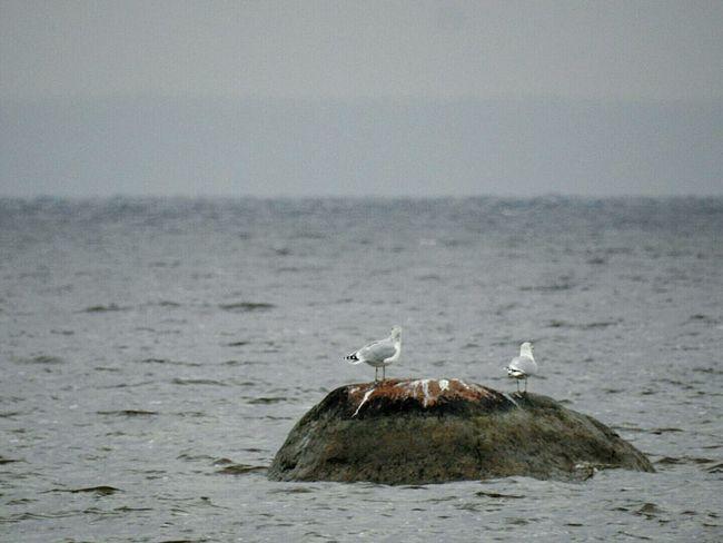 Autumn🍁🍁🍁 Rainy Day Baltic Sea North The Gulf Of Finland Stones Bird Nature Animal Wildlife Water Day Sankt-Petersburg Russia