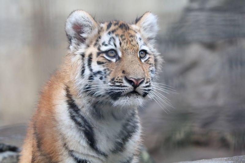 Amur Tiger Zoo