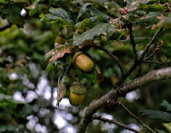 Acorns Autumn Autumn Harvest Fall Beauty Oak Seeds Squirrel Acorns Acorns On Branch Beauty In Nature Branches And Leaves Countryside Cupule Fagaceae Fall Harvest No People Oak Nut Oak Tree Shell