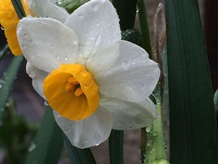 Flower 雫 滴る 水仙