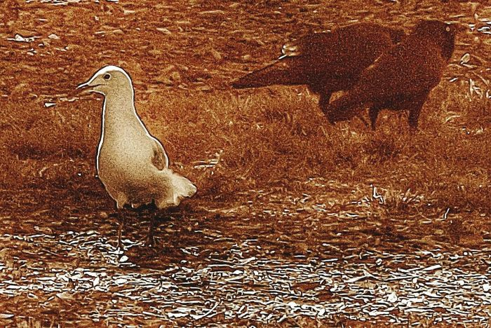 Monochrome Sepia Fresh 3 Australian Wildlife Birds Bird Photography