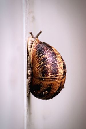 Snail on a white wall One Animal Snail Animal Themes No People Day Nature Quite Moments Beauty In Nature Brown Outdoors Slow Life Slowly Slow EyeEm Selects