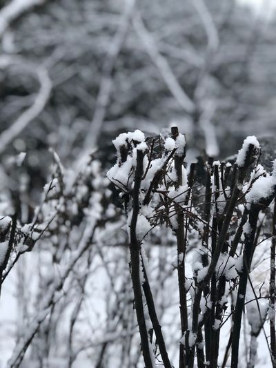 Cold Temperature Plant Snow Nature Winter Focus On Foreground Tree Growth No People Beauty In Nature Day Vulnerability  Close-up Frozen Outdoors Tranquility Branch Fragility Flower