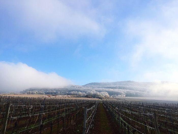 Landscape Tranquility Tranquil Scene Wine Vineyard Winter Mist First Eyeem Photo
