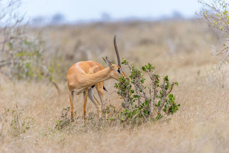 View of gazelle on landscape