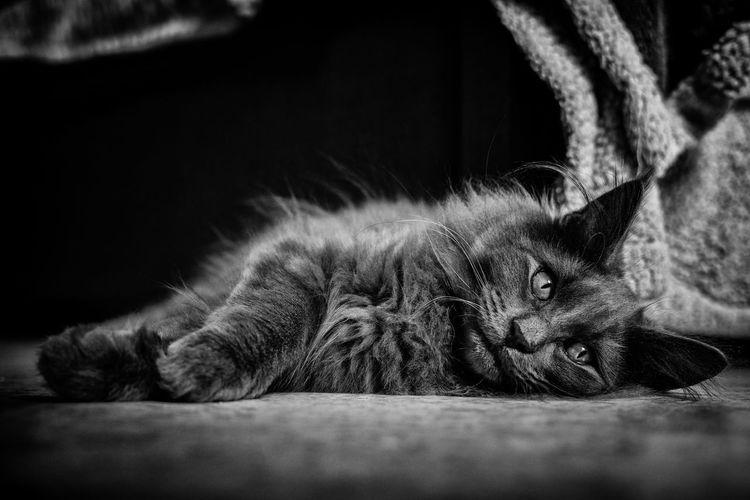 Sleeping cat Norvegianforrestcat Pets Feline Domestic Cat Relaxation Lying Down Sleeping Close-up Animal Body Part Maine Coon Cat Cat Sleepy