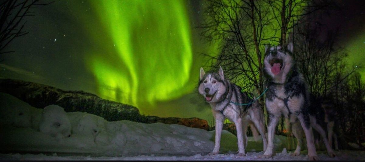 Animal Themes Night Green Color Mammal Nature No People Outdoors Domestic Animals Tree Here you get a little taste of my dogs and the northern lights and dance in the sky. I took this picture in March last year when I participated in the Finnmark race