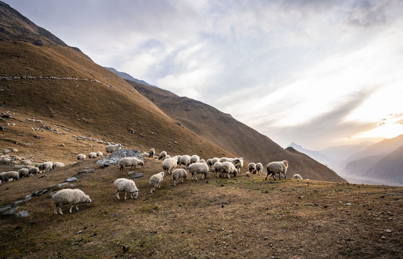 Flock of sheep on a land