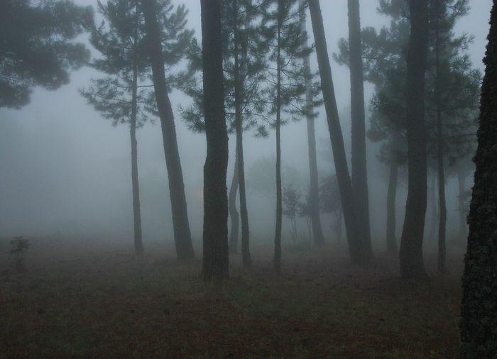 Fog Landscape Non-urban Scene Pine Wood Solitude Tranquil Scene Trunks