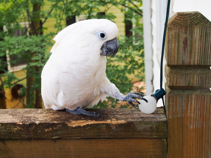 Clara the cockatoo Cockatoo Feathers Animal Themes Beak Bird Close-up Cockatoo Day Domestic Animals Exotic Pets Leafy No People One Animal Outdoors Parrot Perching Pets Portrait White Color Wood - Material