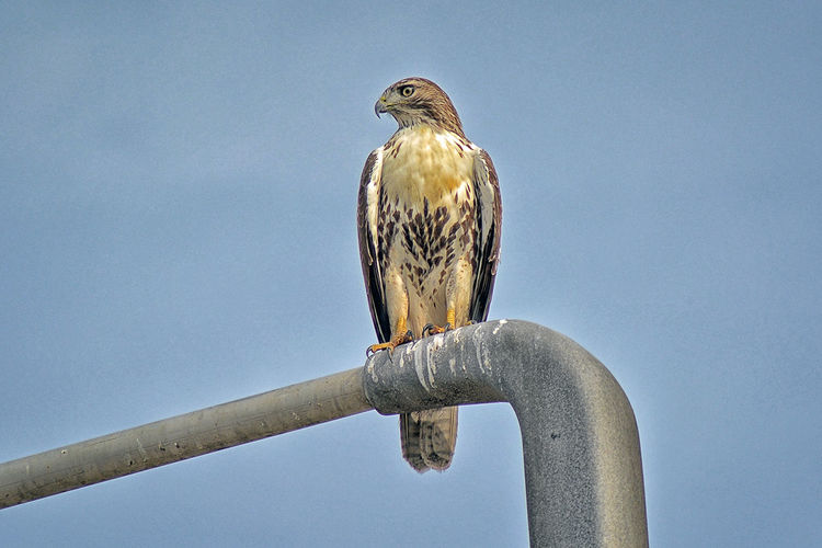 Low angle view of eagle perching on pole against sky